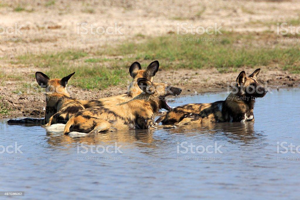 Wild Dogs stock photo