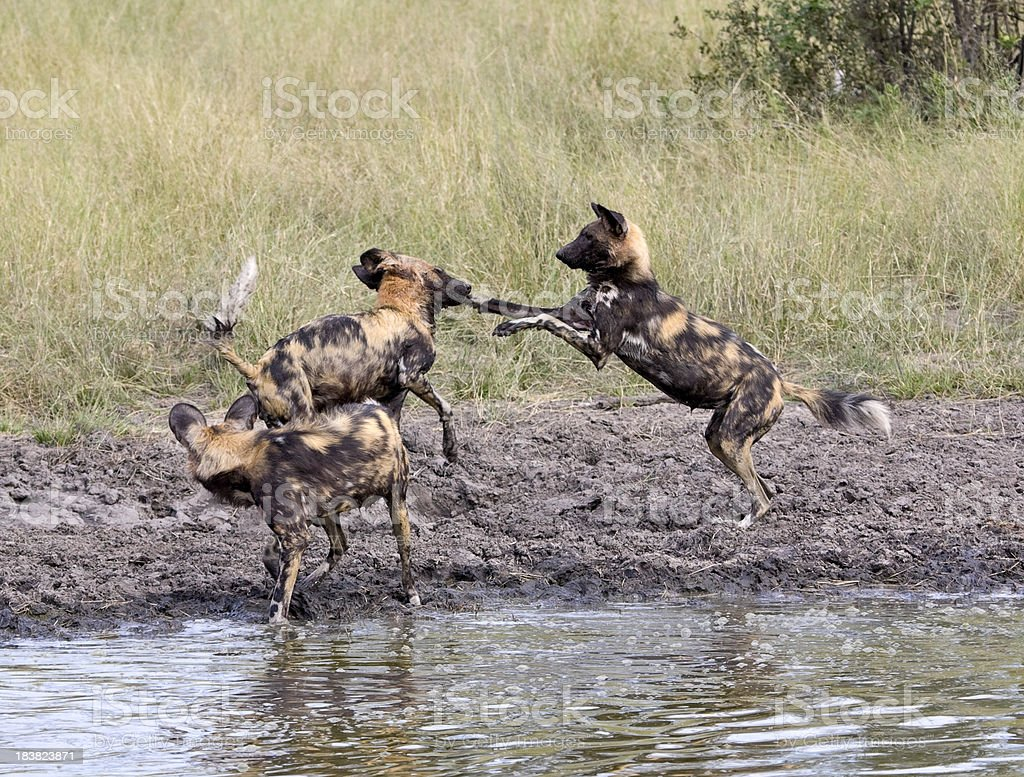 Wild Dogs Playing stock photo