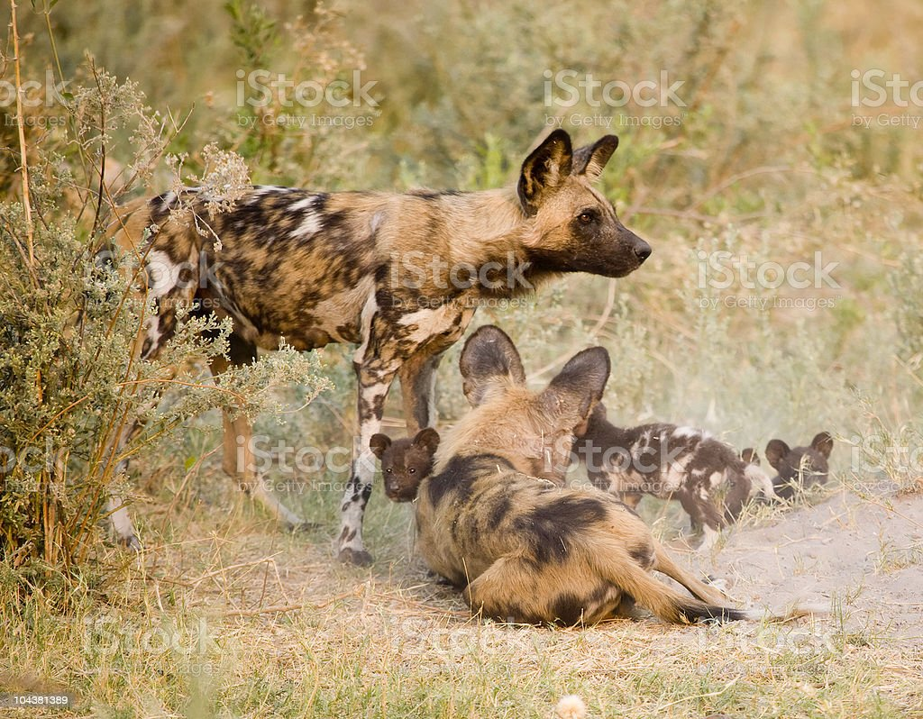 Wild Dogs with young pups stock photo