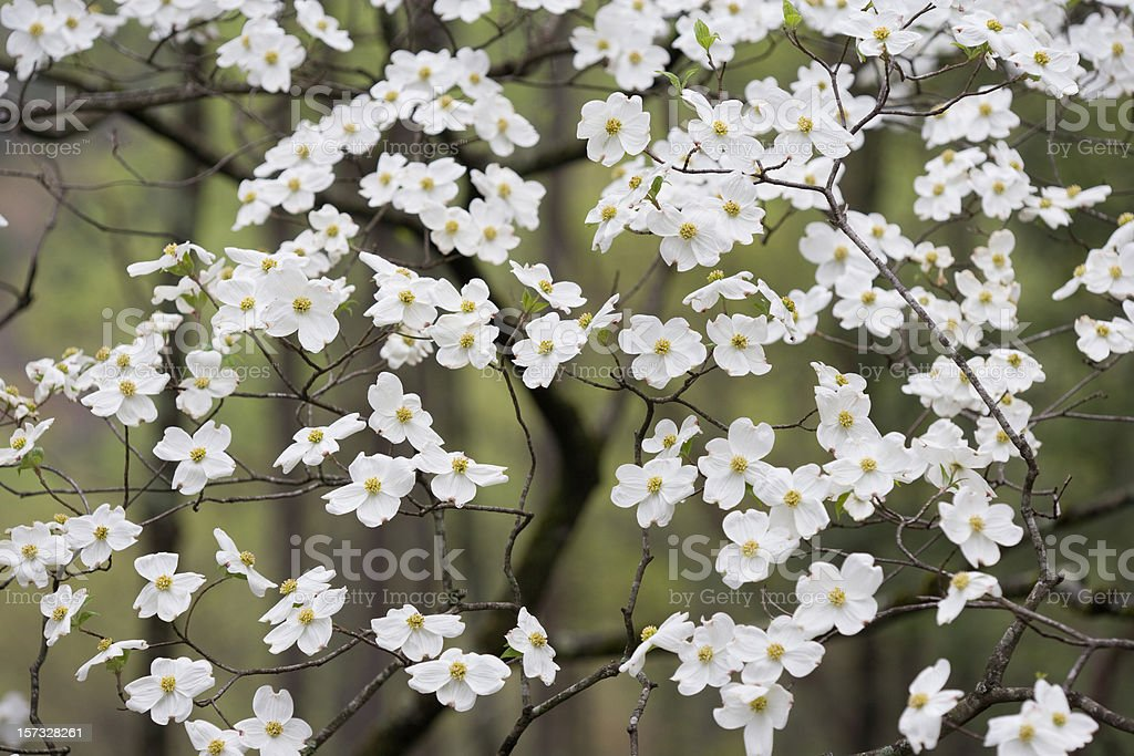 Wild Dogwoods in the Smokies royalty-free stock photo