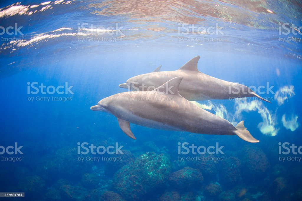 Wild dolphins living in 3 hours away island from Tokyo stock photo