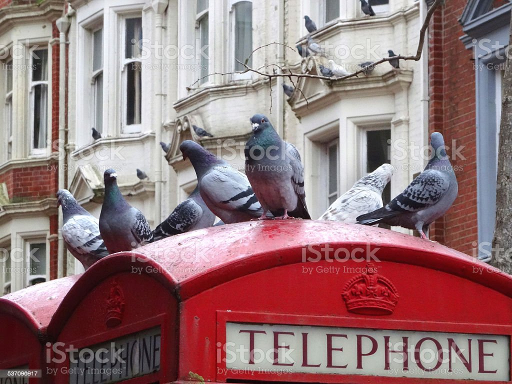 Wild domestic pigeons perched English red telephone box, town centre stock photo