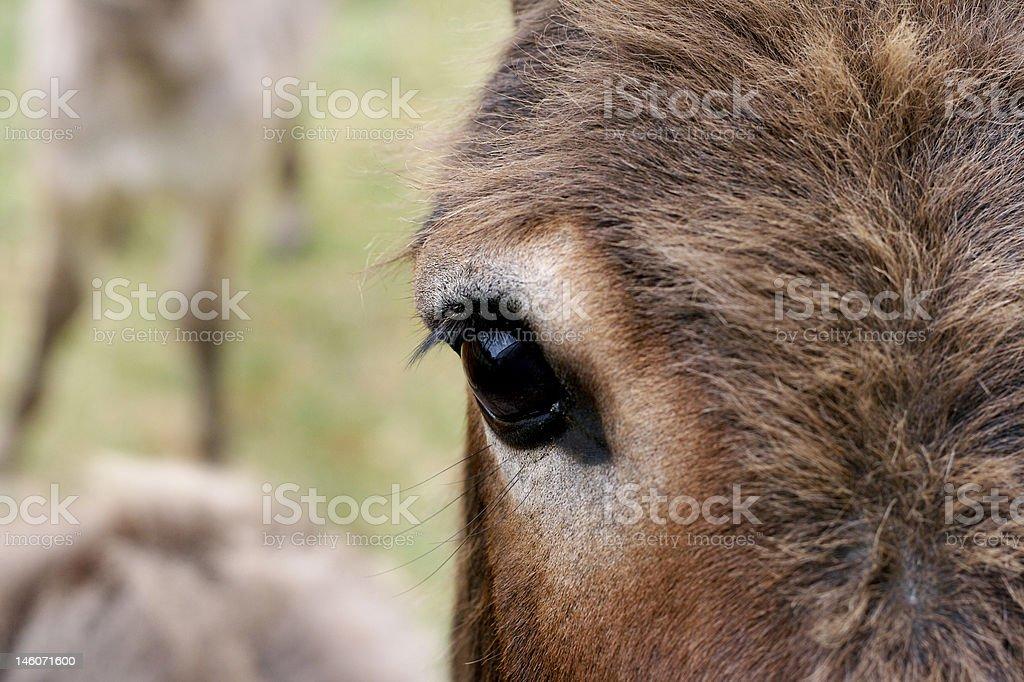 Wild Donkey eye royalty-free stock photo