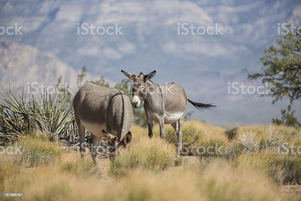 Wild Donkey in Las Vegas desert royalty-free stock photo