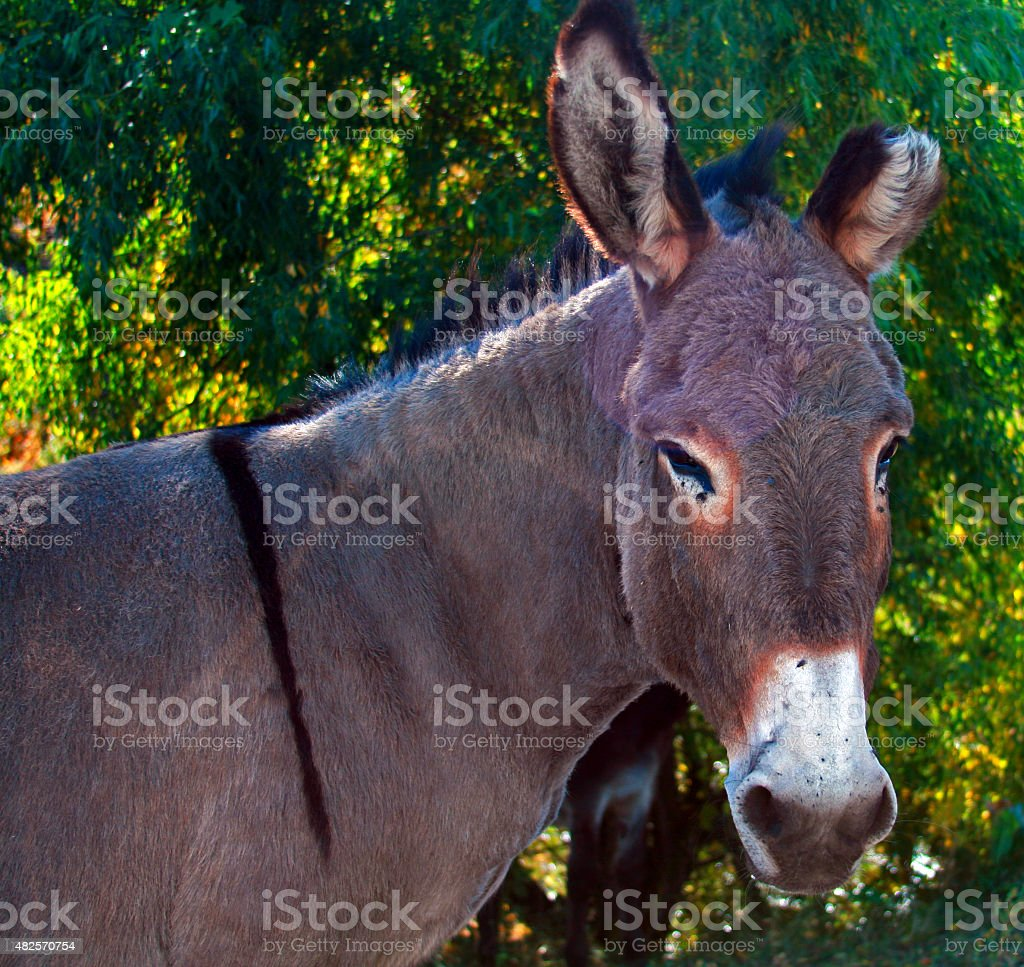 Wild Donkey Stallion in Custer State Park in Black Hills stock photo