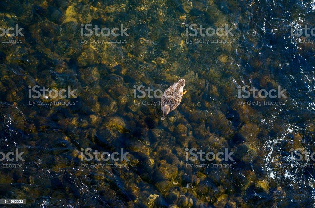 Wild duck floating on shallow lake stock photo