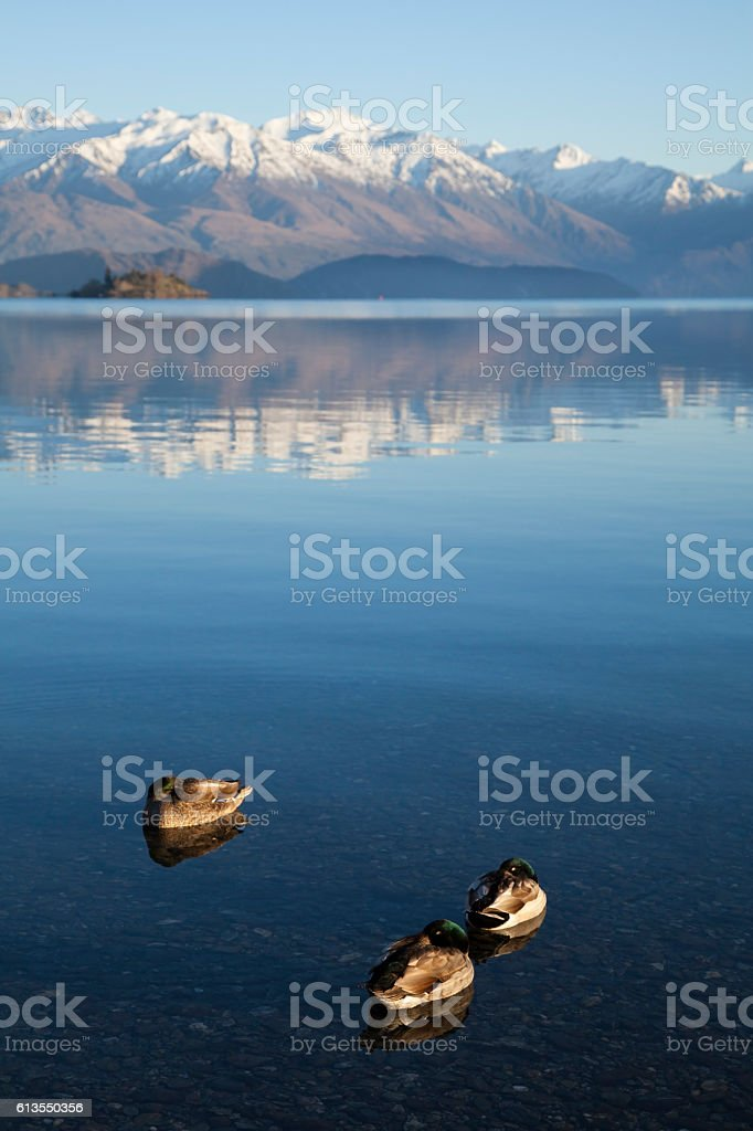 Wild duck in Lake Wanaka stock photo