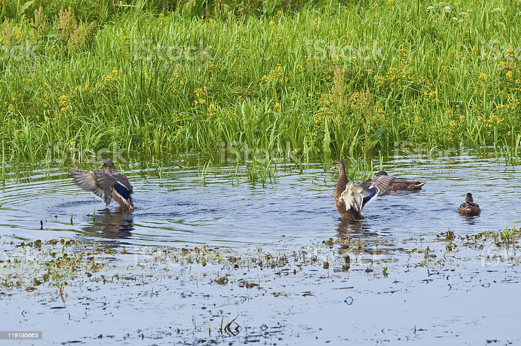 wild duck in reeds by the water stock photo