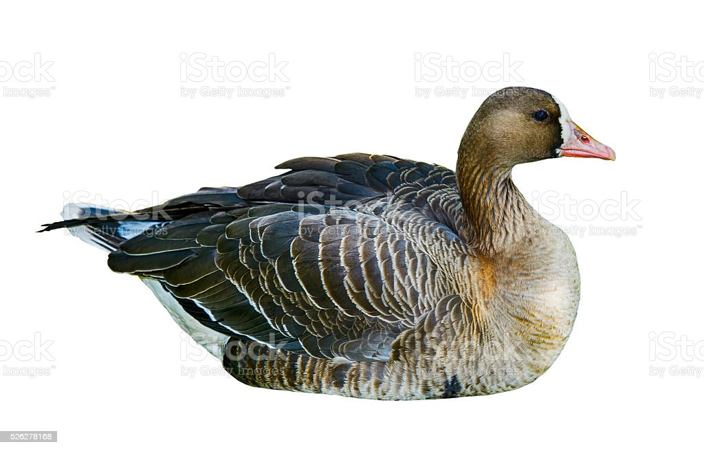 Wild duck isolated on white background. stock photo