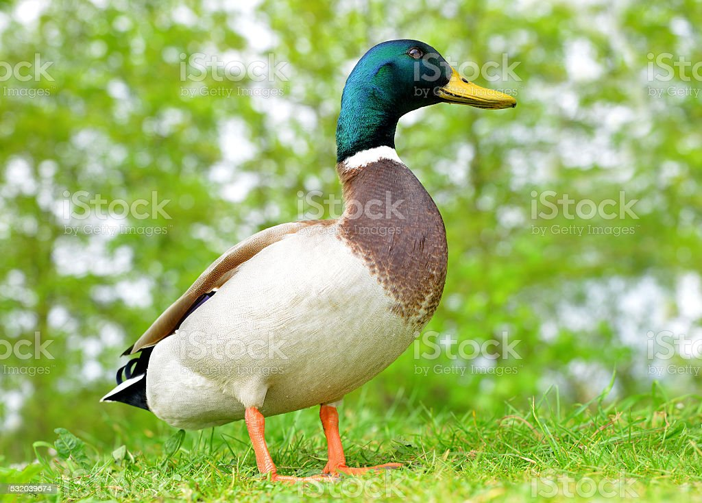 Wild duck or mallard stock photo