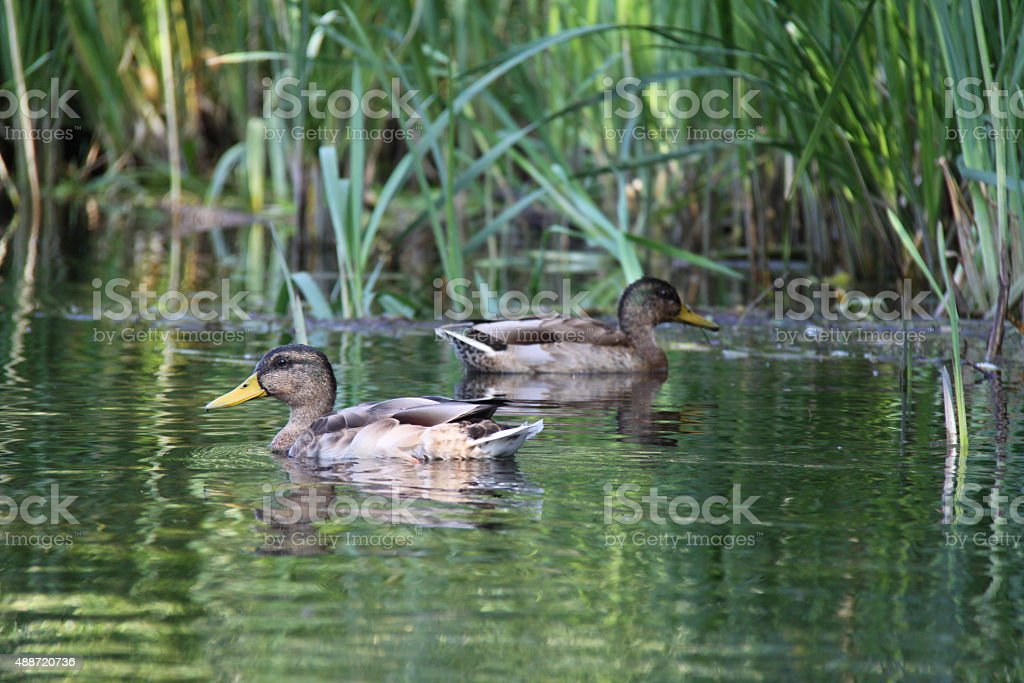 Wild duck stock photo