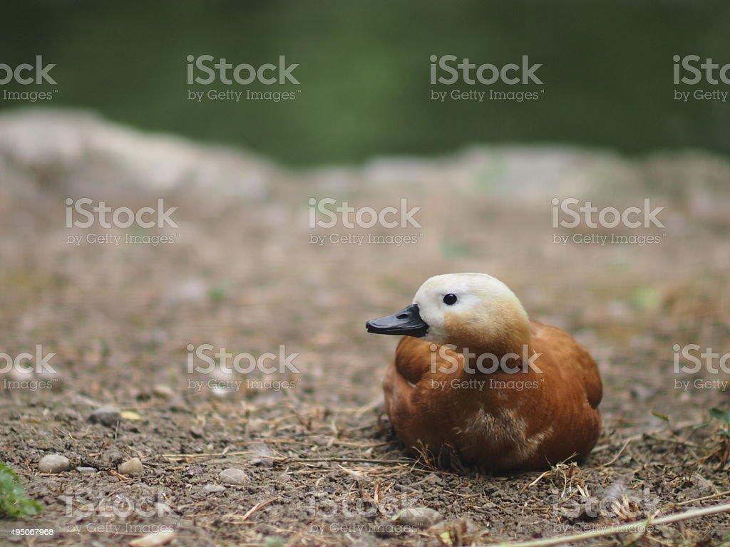 wild duck sitting on ground stock photo