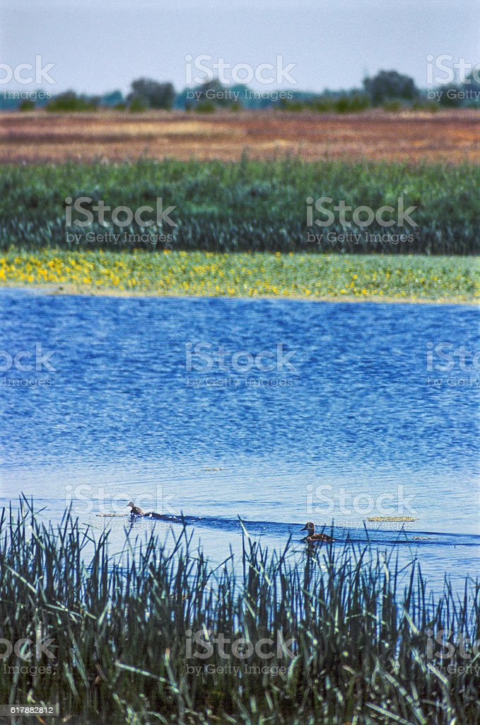 Wild duck with duckling in their natural habitat. stock photo