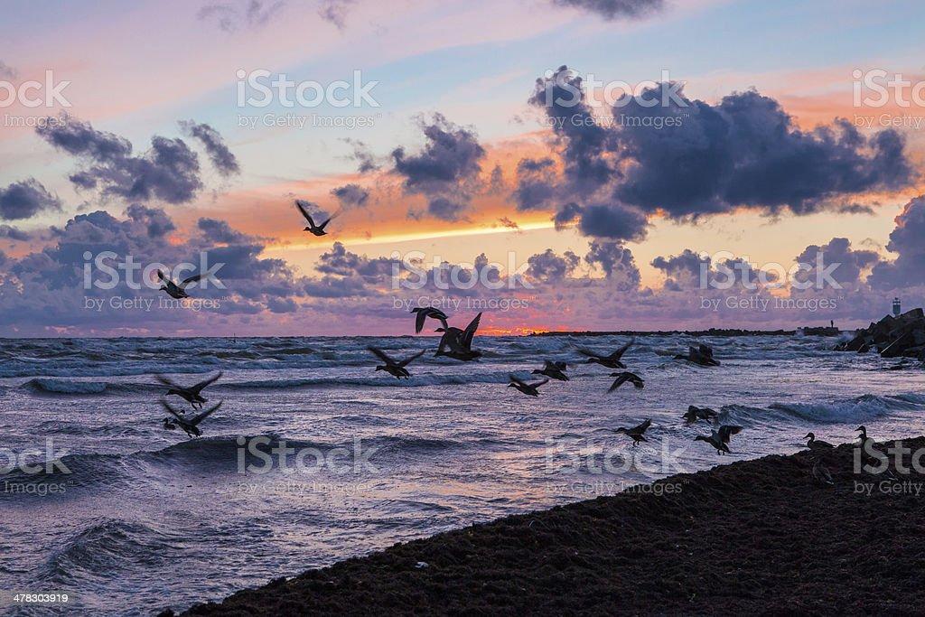 Wild ducks at sunset royalty-free stock photo