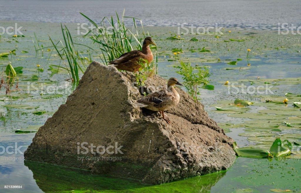 Wild ducks on the stone stock photo