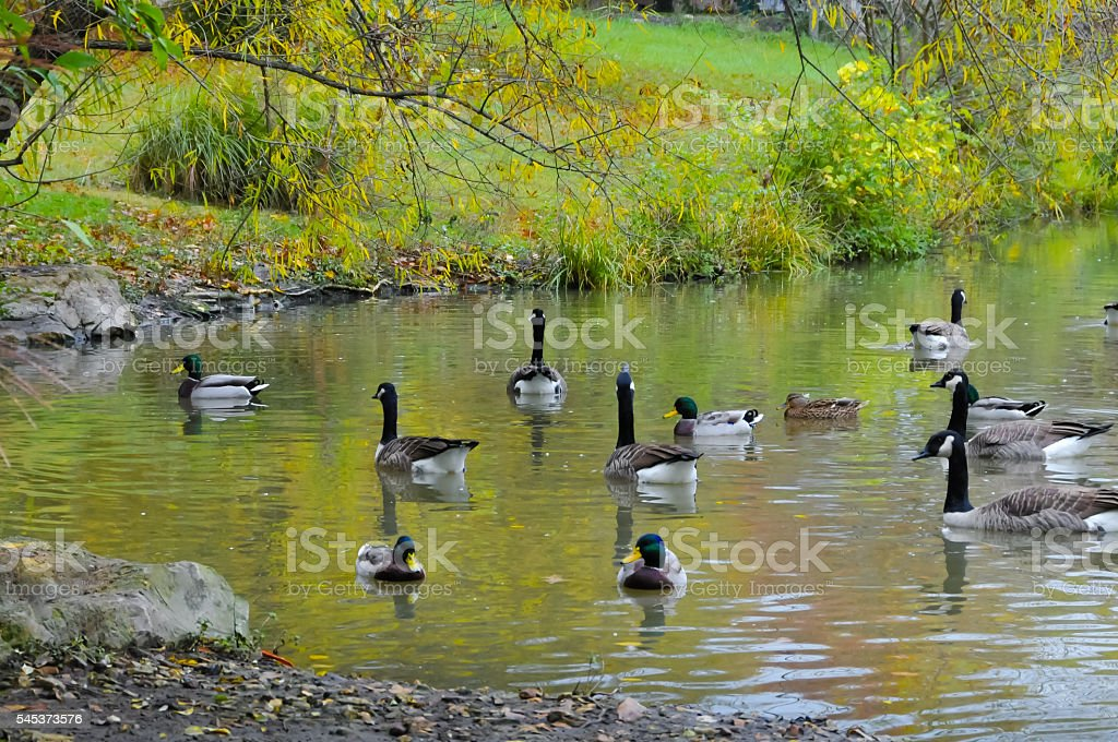 Wild Ducks stock photo
