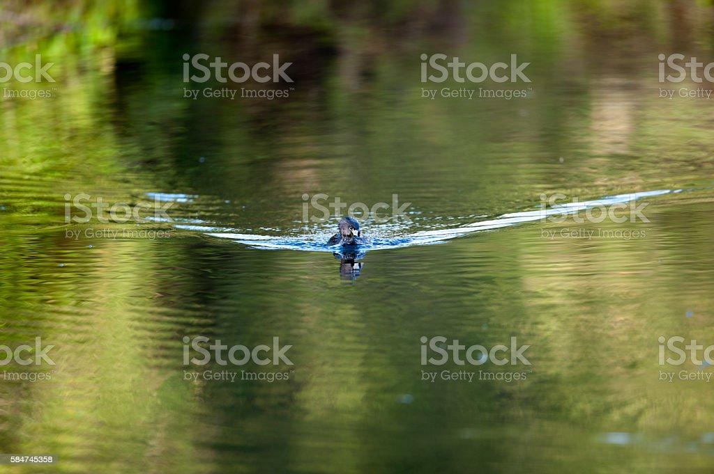 Patos silvestres nadando en el rio stock photo