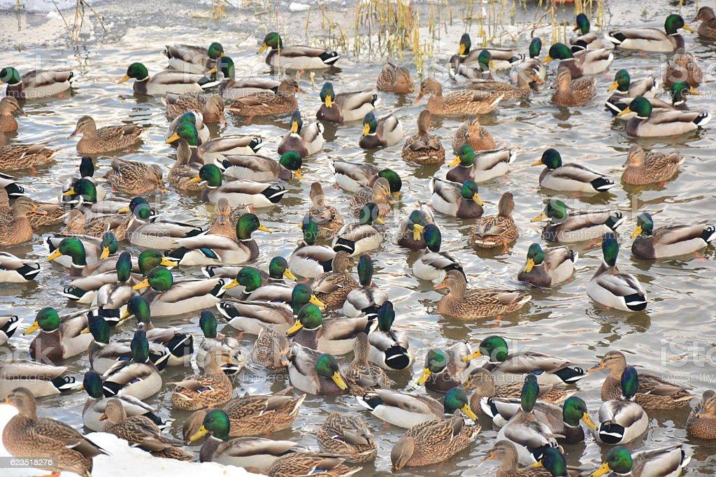 Wild ducks wintering on the city pond. stock photo