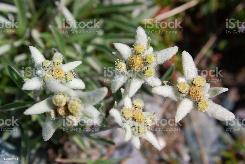 Wild edelweisses close royalty-free stock photo