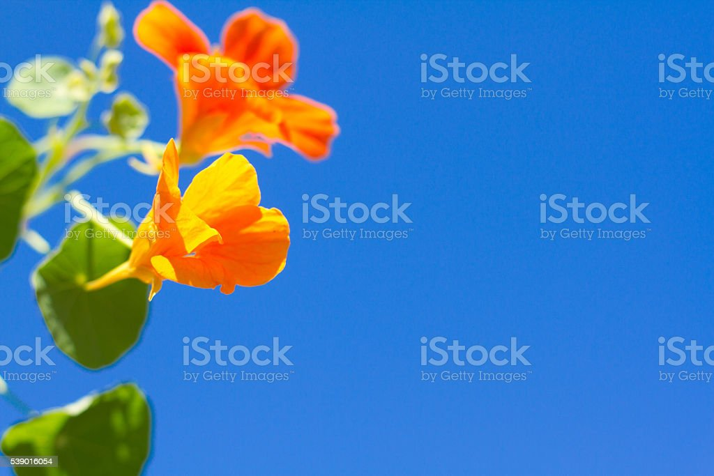 Wild Edible Orange Nasturtium; Vibrant Blue Sky Background (Close-Up) stock photo