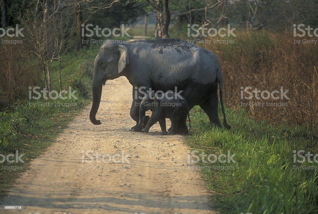 Wild Elephant and Calf royalty-free stock photo