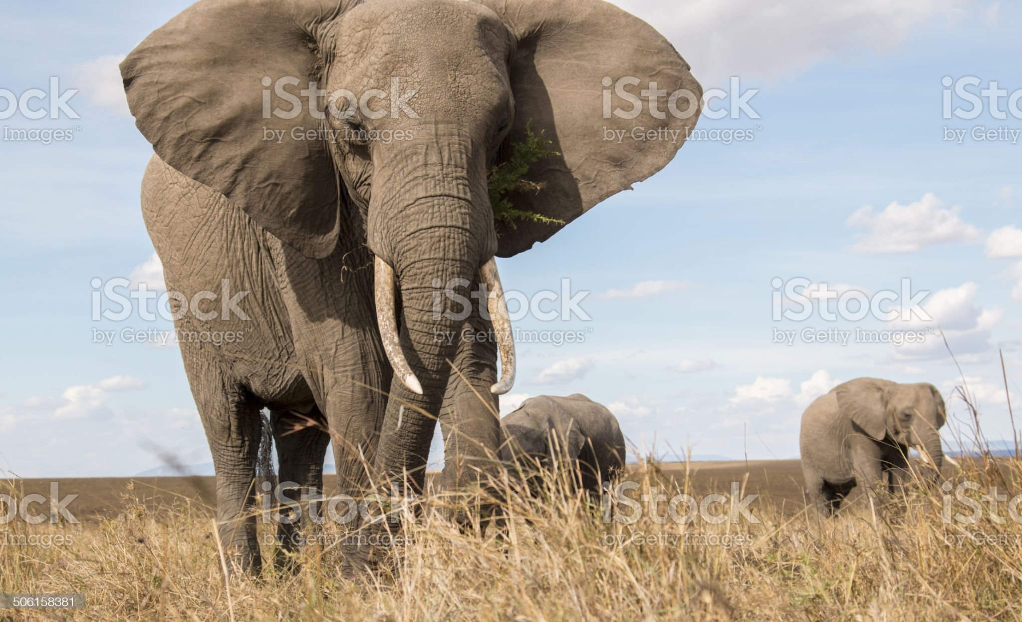 Wild Elephant herd from grass level royalty-free stock photo
