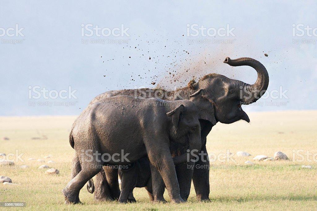 Wild Elephant, India. stock photo