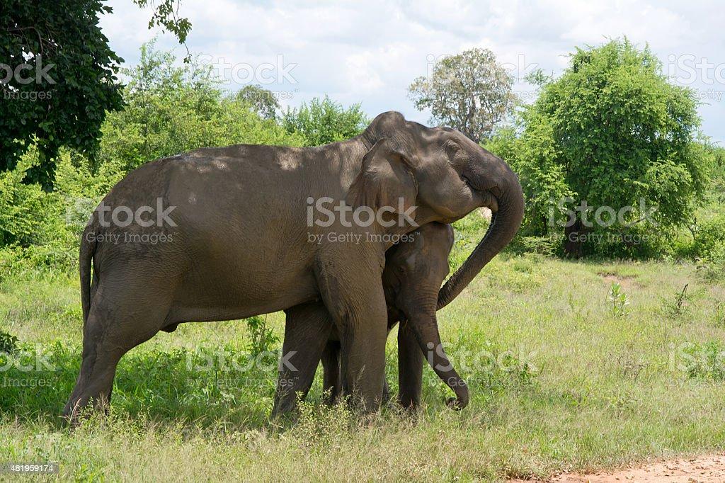 Wild Elephant InUdawalawe National Park stock photo
