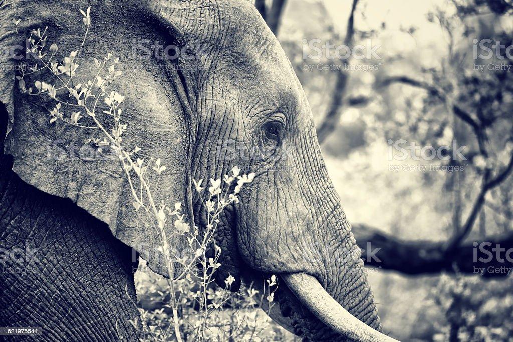 Wild elephant portrait stock photo