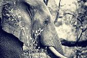 Wild elephant portrait