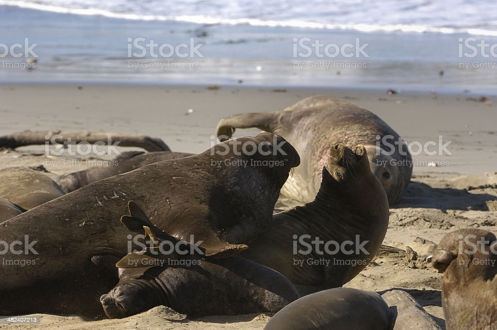 Wild Elephant Seals on Sandy Beach royalty-free stock photo