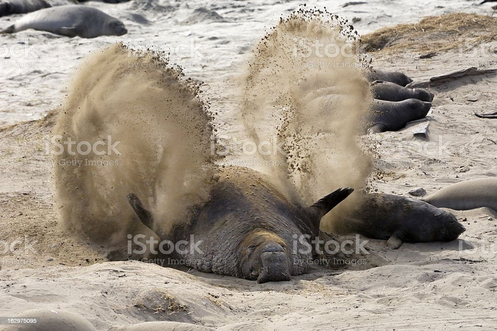 Wild Elephant Seals Resting on Sandy Beach royalty-free stock photo