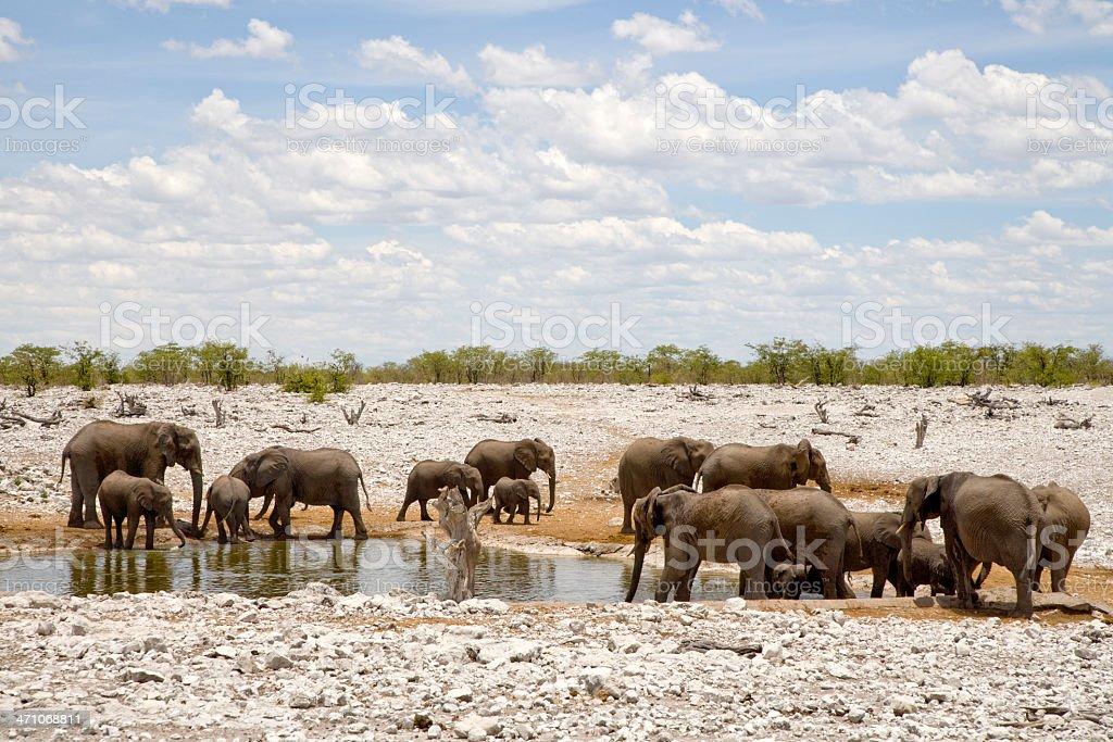 Wild Elephants Africa royalty-free stock photo