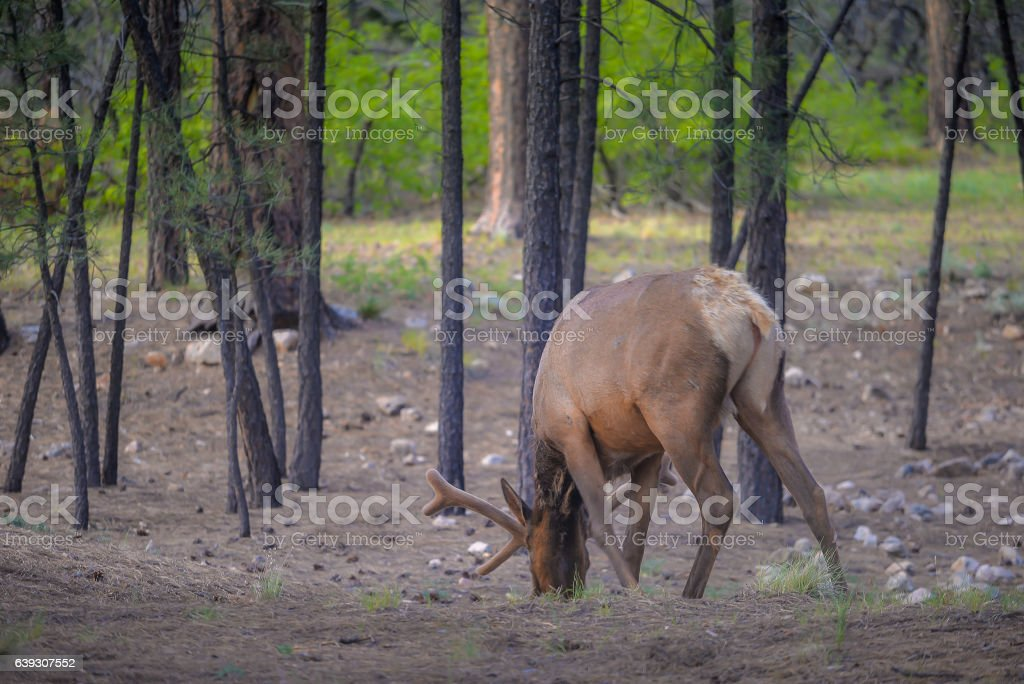Wild Elk in national park stock photo