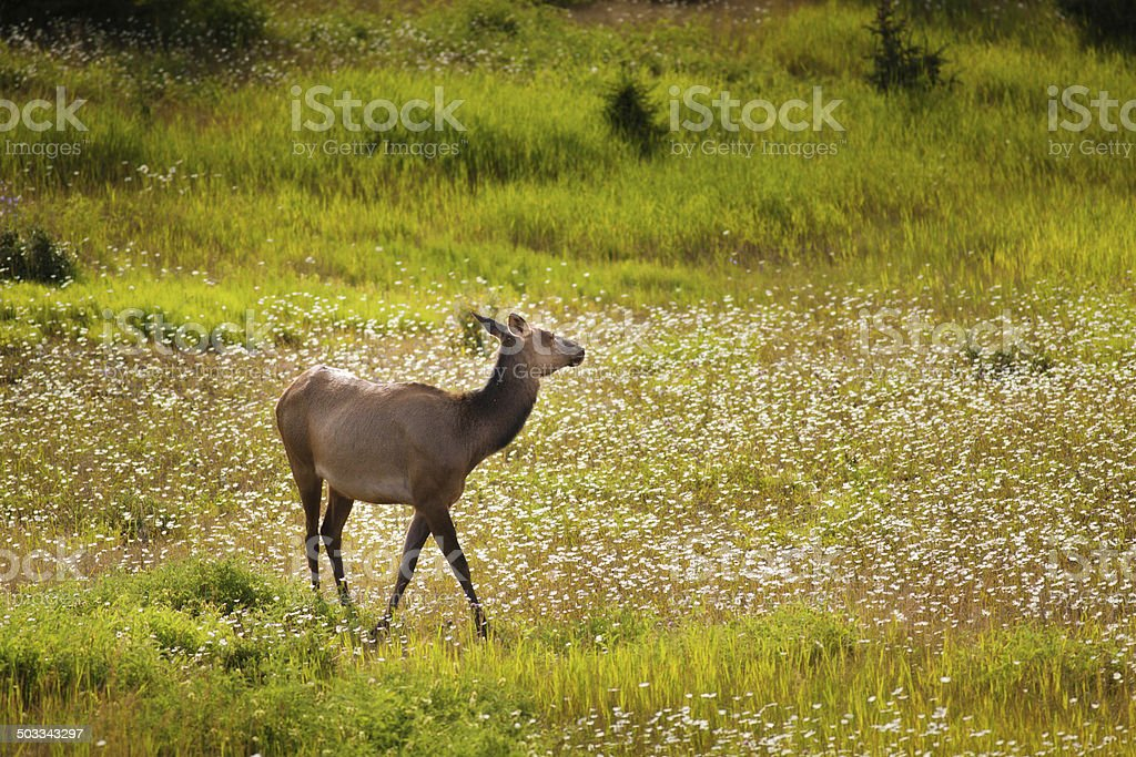 Wild Elk in Nature of Banff National Park stock photo