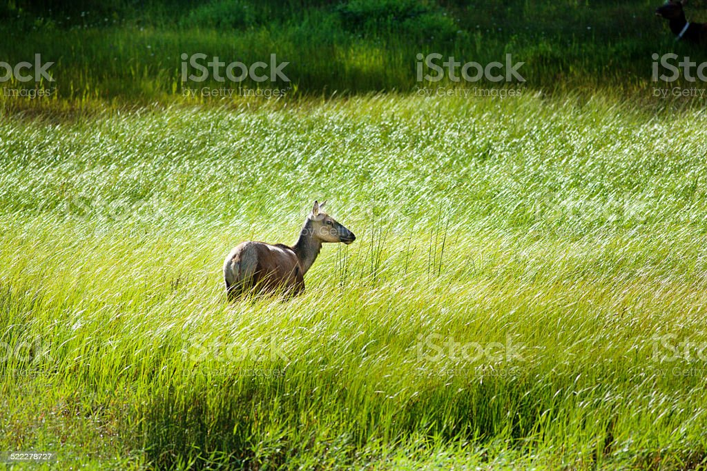 Wild Elk in Tall Grass at Banff National Park Canada stock photo