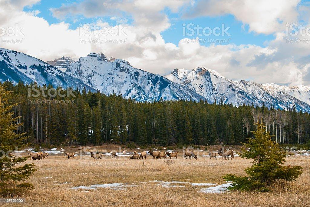 Wild Elk stock photo