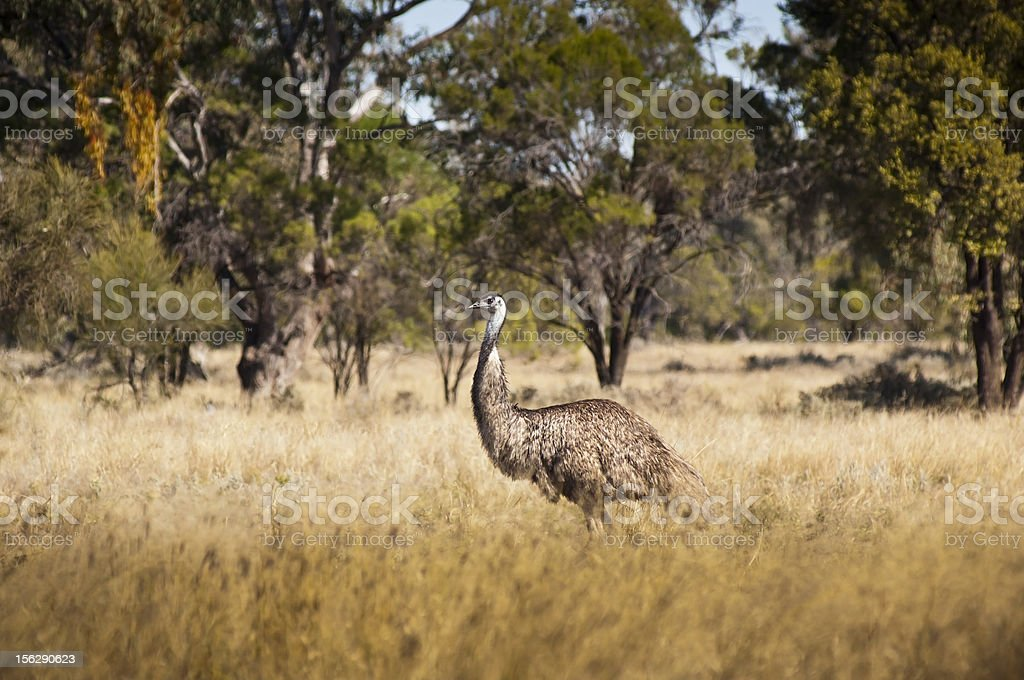 Wild Emu royalty-free stock photo