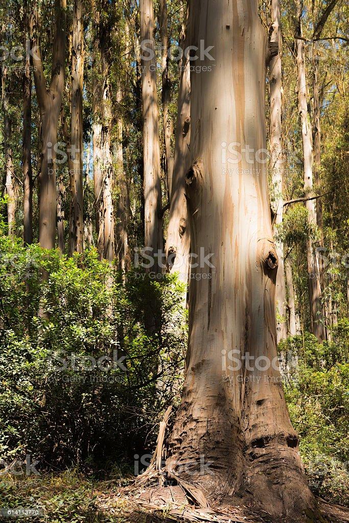 wild eucalyptus tree stock photo