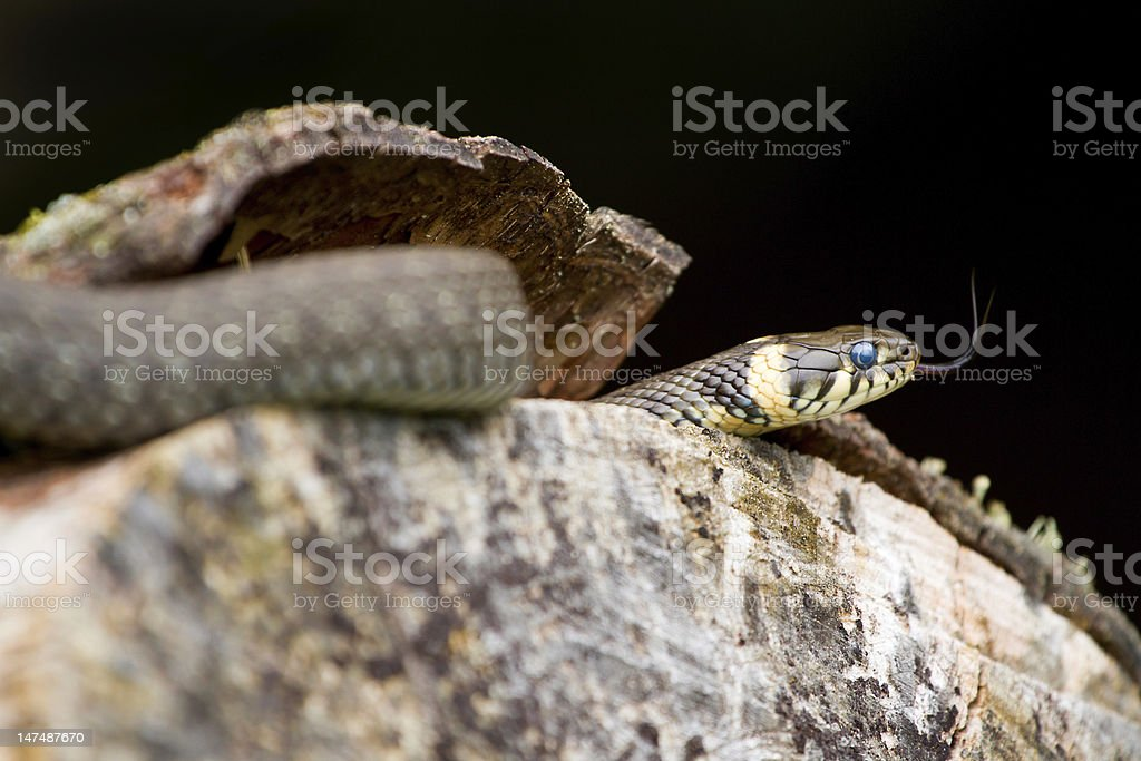 Wild european adder and its forked tongue on the wood royalty-free stock photo