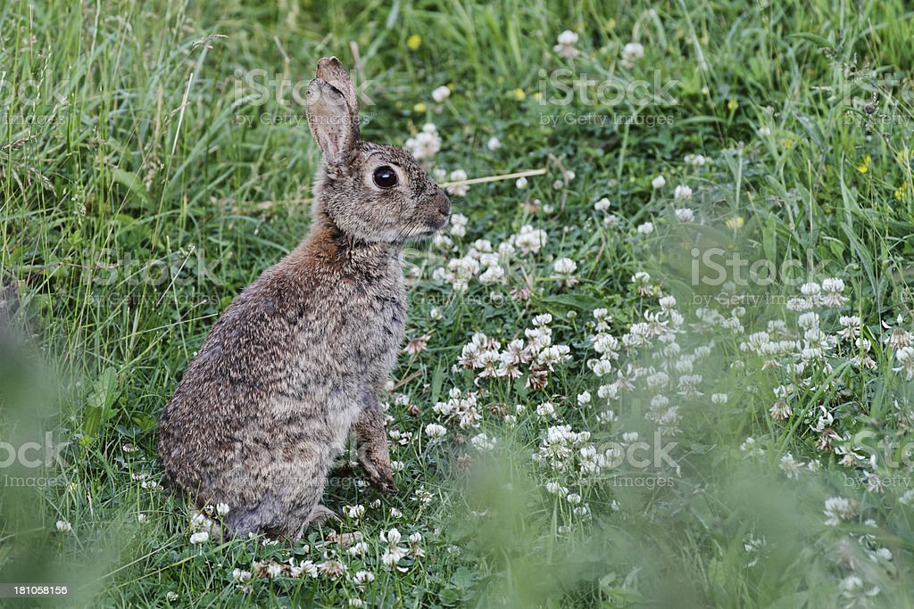 Alert wild rabbit Oryctolagus cuniculus sitting in white clover royalty-free stock photo