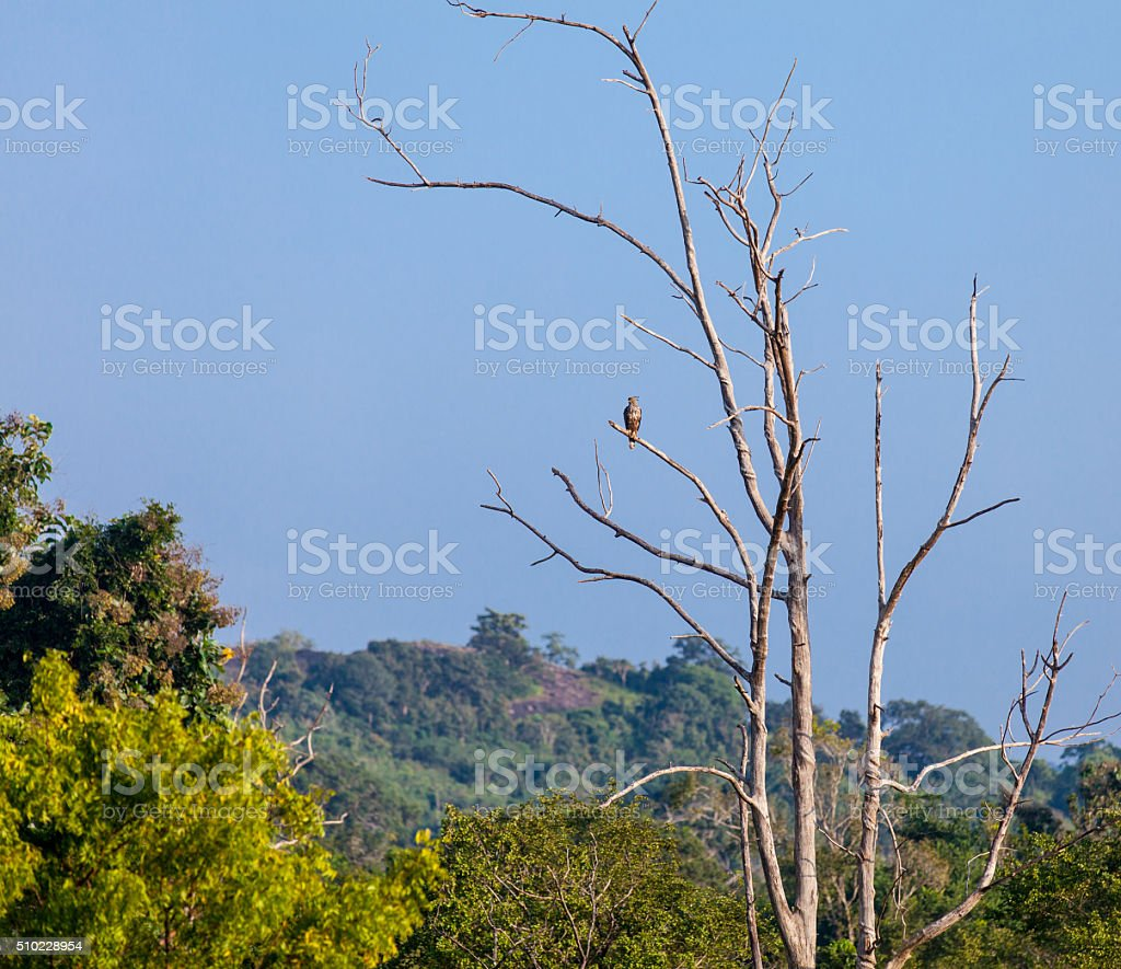 Wild falcon sitting on the branch stock photo
