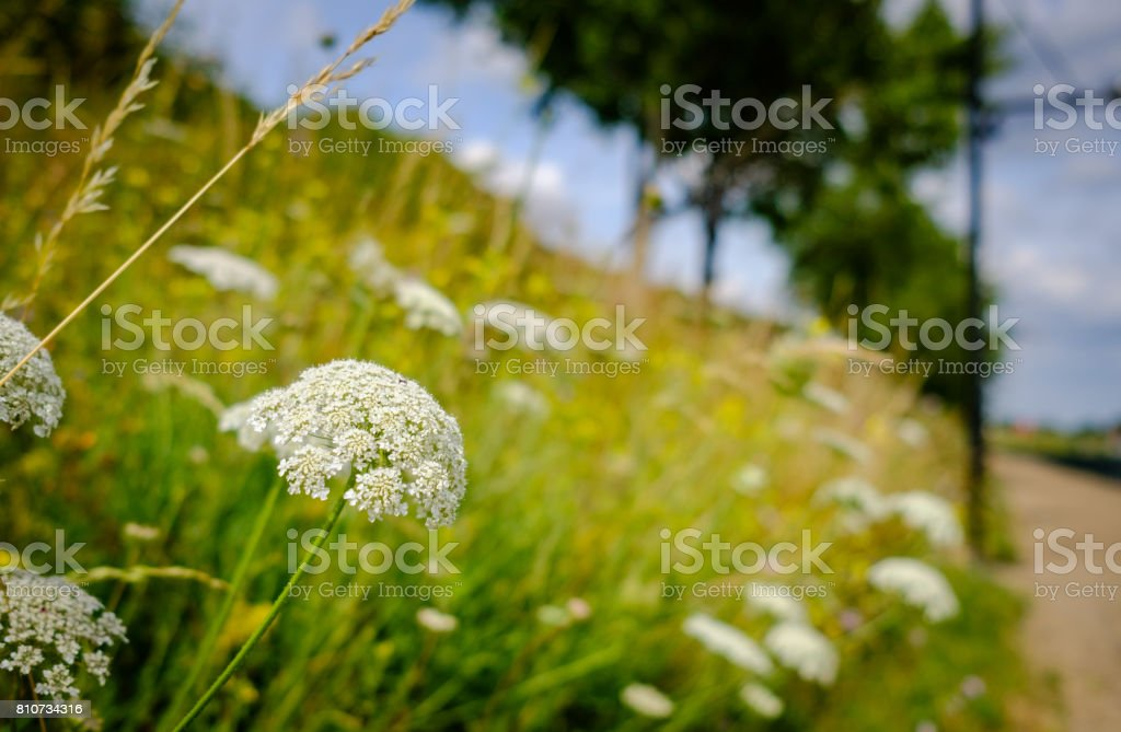 Wild fauna seen growing on a grassy bank which is adjacent to a public footpath. stock photo