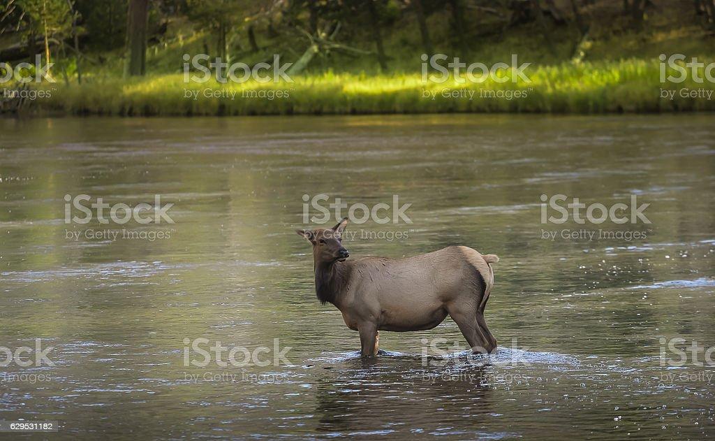 Wild Female Elk stock photo