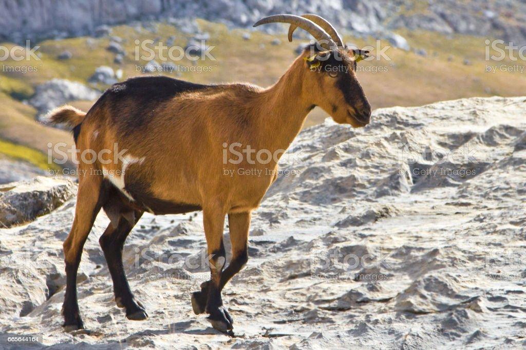 Wild female goat (Capra aegagrus) going at the mountains, on daytime, Cantabria, National Park Picos de Europa, Spain stock photo
