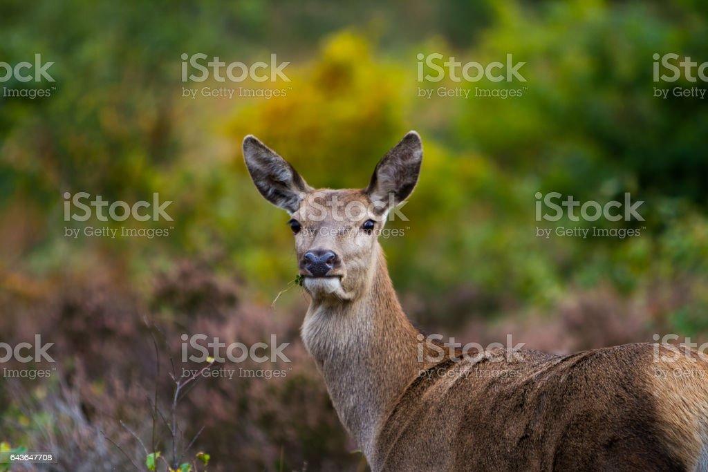 Wild Female Red Deer eating, a Doe. stock photo