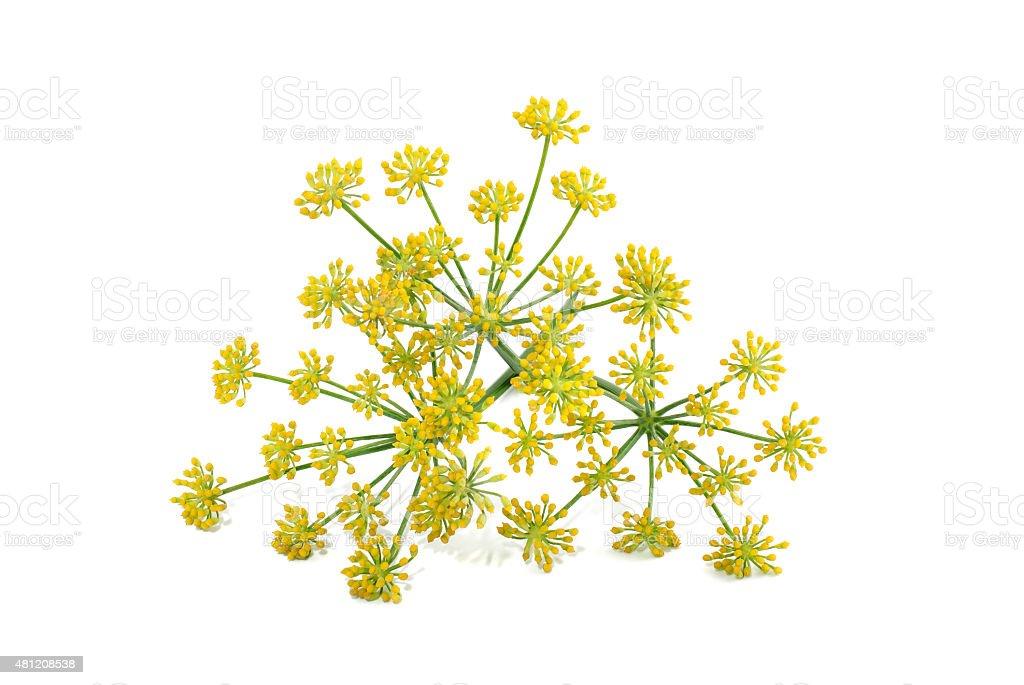 Wild fennel flowers stock photo