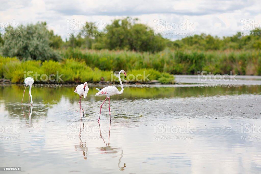 wild flamingo birds in the lake in France, Camargue, Provence stock photo