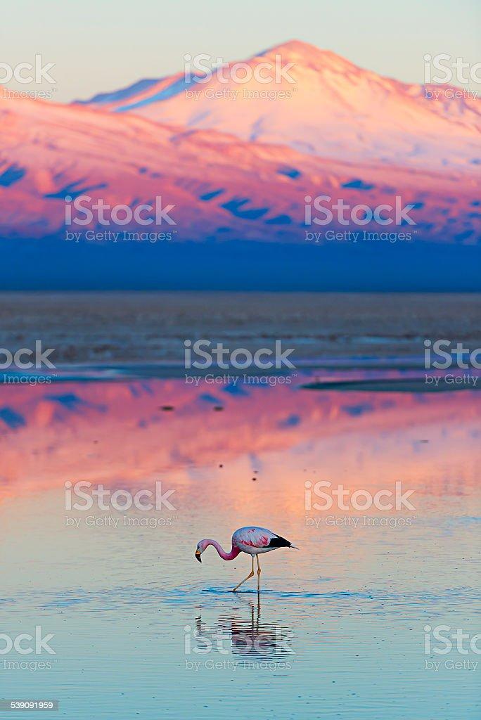 Wild Flamingo stock photo