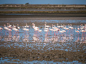 Wild Flamingos from Africa - France